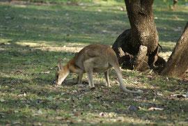 Känguru beim Grasen