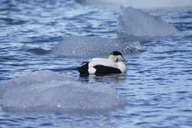 Eiderente im Eiswasser