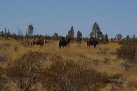 Kamele im Outback zwischen Alice Springs und dem Mount Connor in Australien