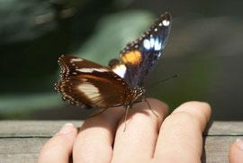 Zutraulicher Schmetterling