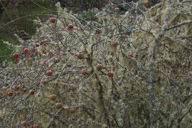 """Flechten haben eine Obstbaumplantage """"gekapert"""""""