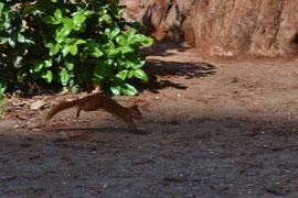 Hüpfendes Eichhörnchen