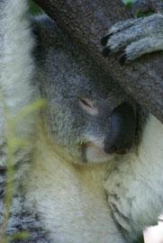 Koala im Land der Träume