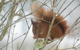 Eichhörnchen am Meisenknödel I