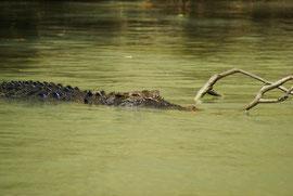Salzwasserkrokodil auf der Pirsch im Northern Territory, Australien