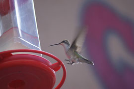 Kolibri beim Bryce Canon, USA