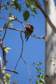 Gebirgslori in Paarungslaune, Northern Territory, Australien