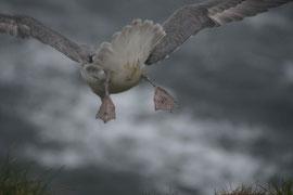 Eissturmvogel, Island
