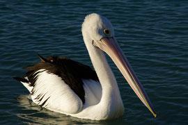Pelikan beim Schwimmen