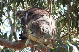 Koala beim Verdauungsschlaf