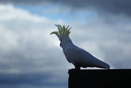 Bezaubernder Kakadu, Queensland, Australien