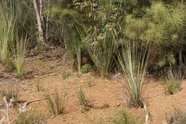 Echidna - schon fast im Gebüsch verschwunden