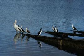 Pelikan mit ...
