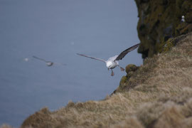 Trotz Sturmböen perfekter Landeanflug zum Nest