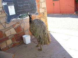 Emu auf Nahrungssuche im Northern Territory, Australien