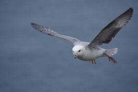 Eissturmvogel beim Vorbeiflug