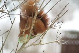 Eichhörnchen am Meisenknödel III