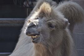 Kamel in der Wilhelma, Stuttgart