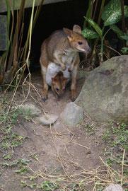 Känguru mit Joey