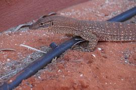 Waran, Westaustralien
