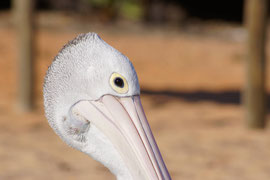Pelikan - majestätische Ausstrahlung