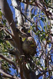 Käpt'n Koala im Ausguck