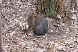 Quokka beim Tree Top Walk in WA