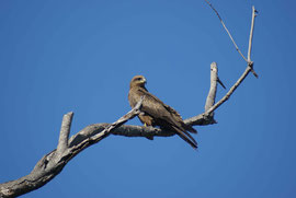 Adler in Darwin