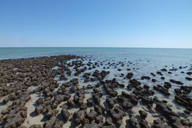 Stromalithen im Hamlin Pool bei Monkey Mia, Westaustralien