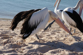Pelikan bei der Körperpflege