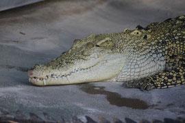 Krokodil, Wilhelma Stuttgart