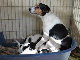 Urgroßmutter: My Bonnie Jamen Berit-Danish-Swedish-Farmdog-dänischer Bauernhund-dänischer Landhund