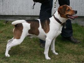 Urgroßvater: Purka`s Milo-Danish-Swedish-Farmdog-dänischer Bauernhund-dänischer Landhund