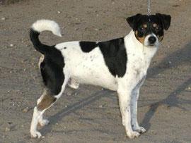 Urgroßvater: Pelle-Danish-Swedish-Farmdog-dänischer Bauernhund-dänischer Landhund