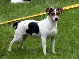 Großmutter: Zkrubbe`s Elektra-Danish-Swedish-Farmdog-dänischer Bauernhund-dänischer Landhund