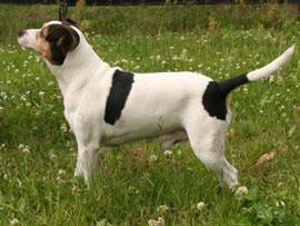 Urururgroßvater: Youhais Frasige Freddy-Danish-Swedish-Farmdog-dänischer Bauernhund-dänischer Landhund