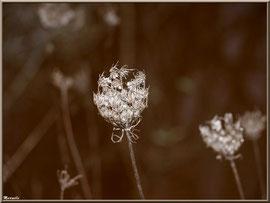 Fleurs de Carotte sauvage asséchées par l'hiver, flore sur le Bassin d'Arcachon (33)