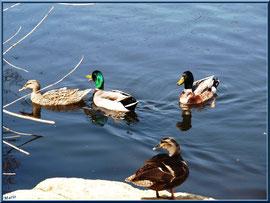 Canards en famille au bassin du Parc de la Chêneraie à Gujan-Mestras (Bassin d'Arcachon)