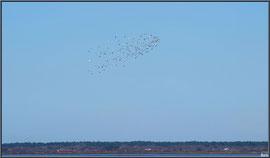 Alouettes de Mer en vol au-dessus de Bassin, sur le Sentier du Littoral, secteur Moulin de Cantarrane, Bassin d'Arcachon