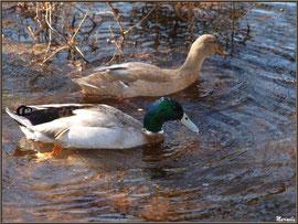 Canards Colvert (Mr et Mme) au fil du Canal des Landes au Parc de la Chêneraie à Gujan-Mestras (Bassin d'Arcachon)