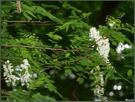 Robinier ou (faux) Acacia en fleurs, flore Bassin d'Arcachon (33)