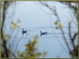 Couple de mouettes dans un réservoir, Sentier du Littoral, secteur Moulin de Cantarrane, Bassin d'Arcachon
