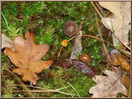 Corpin minuscule sur lit de mousse et feuilles en forêt du Bassin d'Arcachon