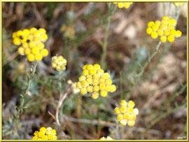 Immortelles en fleurs dans la garrigue des Alpilles (Bouche du Rhône)