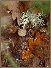 Cropin Desséminé en forêt sur le Bassin d'Arcachon