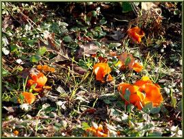 Pézize Orangée en forêt sur le Bassin d'Arcachon, comme dans un champ de fleurs