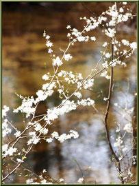 Arbrisseau en fleurs printanières au Parc de la Chêneraie à Gujan-Mestras (Bassin d'Arcachon)