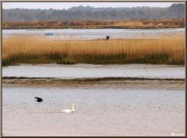 Corbeaux en vol et cygne au fil de l'eau dans un chenal longeant les marécages Sentier du Littoral, secteur Moulin de Cantarrane, Bassin d'Arcachon