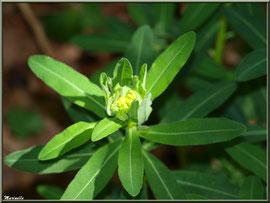 Euphorbe en bouton, flore sur le Bassin d'Arcachon (33)