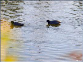 Couple de foulques au fil de l'eau dans un réservoir, Sentier du Littoral, secteur Port du Teich en longeant La Leyre, Le Teich, Bassin d'Arcachon (33)